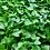 Thumbnail: Broccoli - Di Cicco (1 tray)