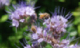 Honey bees on cover crops; phacelia and flowers