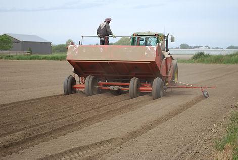 Planting potato seed; potato hills.