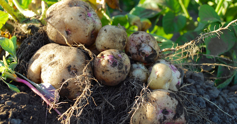 organic potatoes agriculture farming