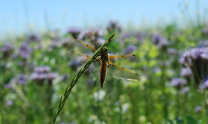 Dragonfly and benefical insects.