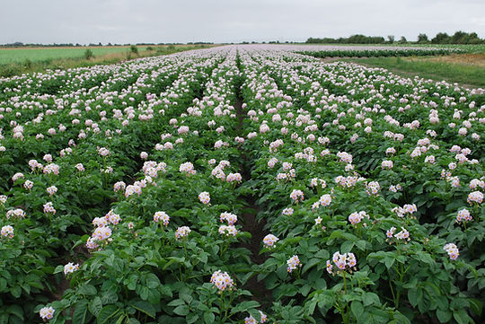 Flowering potato fields.
