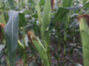 Organic silage cow corn