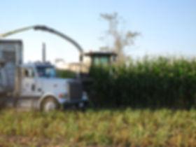 Corn harvester farming and cutting organic corn.