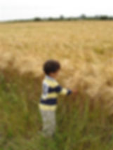 Little boy playing with organic barley in the farm field.