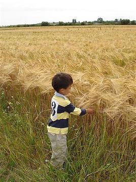 Little boy playing with organic barley in the farm field.
