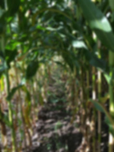 Organic corn harvest Delta BC dairy cows