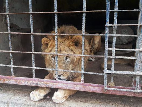 War-Torn Yemen Is Letting Its Zoo Animals Starve to Death