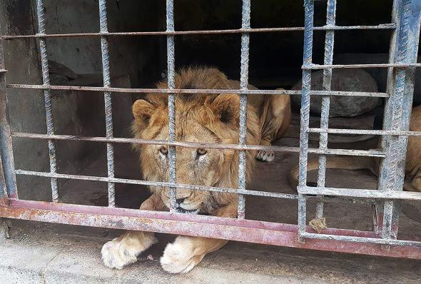 A malnourished lion stares out of a blood- and urine-soaked cage. Eleven lions died of starvation after they were abandoned at Yemen's Taiz Zoological Gardens in early 2016.  PHOTOGRAPH BY MERCURY PRESS, CATERS NEWS