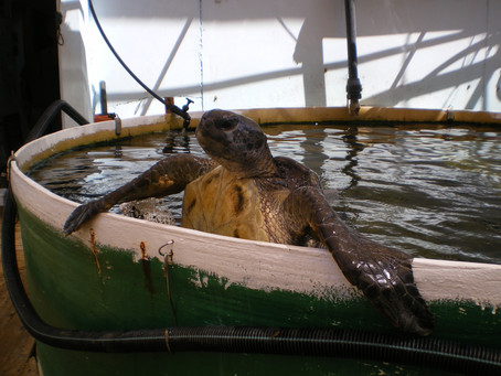 Sea Turtle Rescue and Rehabilitation