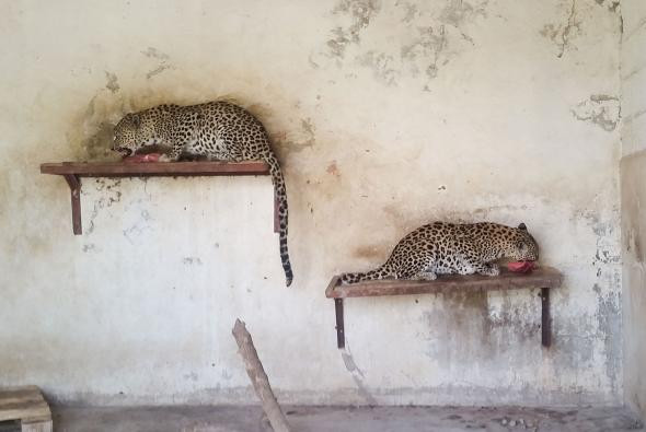 These Arabian leopards, critically endangered in the wild, haven't been fed since December 16.  PHOTOGRAPH BY MERCURY PRESS, CATERS NEWS