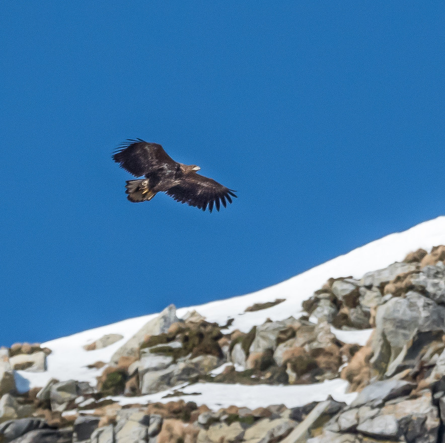 White Tailed Eagle (Lofoten)