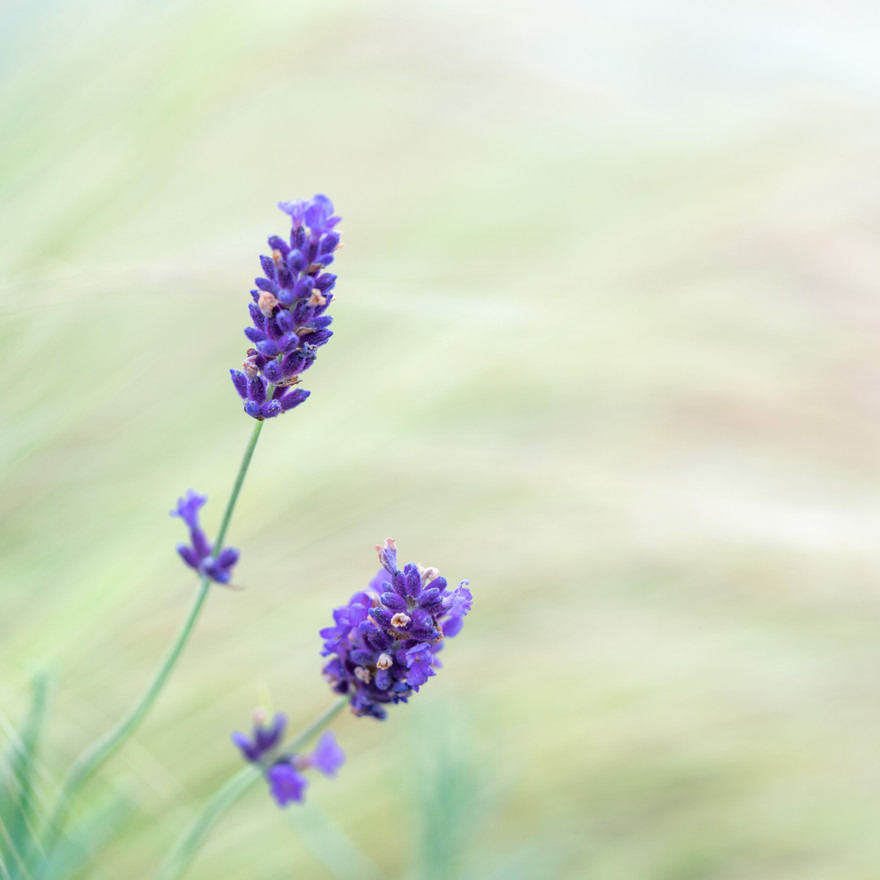 Lavender vs Grasses