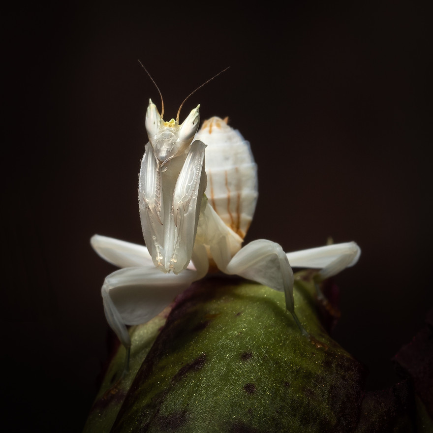 Tiny Orchid Mantis - Macro