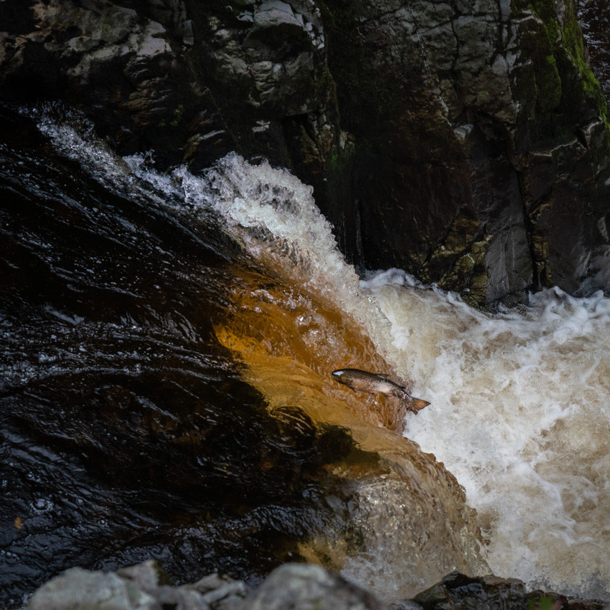 Salmon jumps at Conwy Falls
