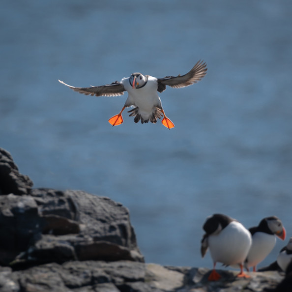 Puffin Landing!