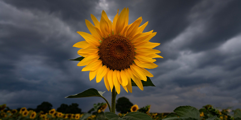 Sunflower in Looming Storm