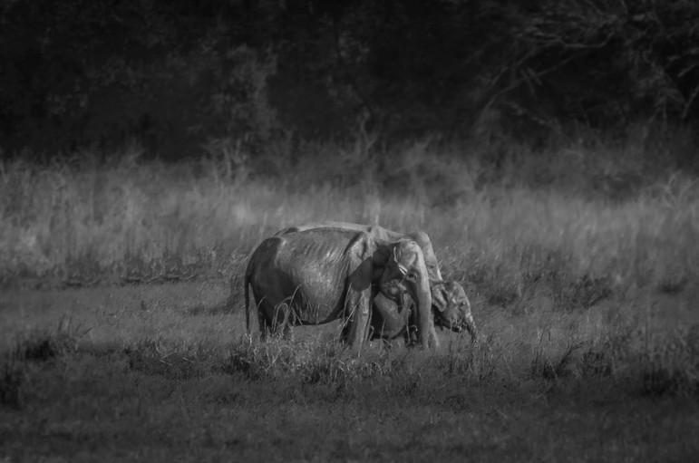 Elephant family Minneria Park.jpg