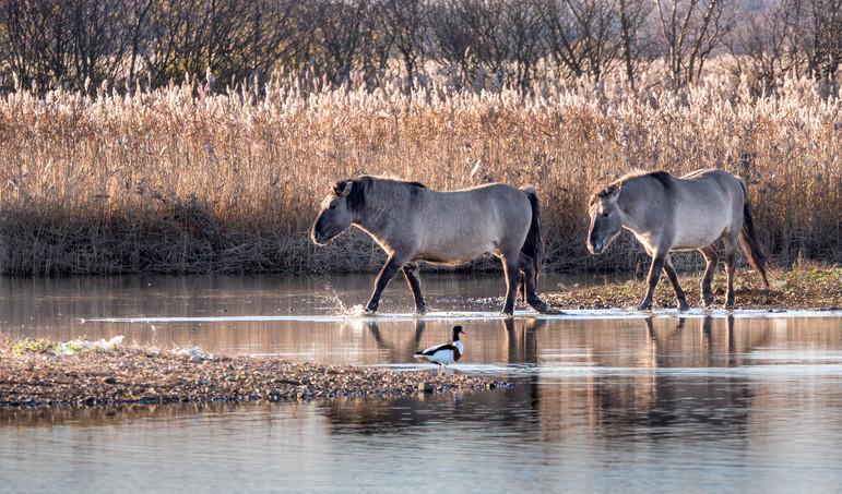 Wild Konik Ponies