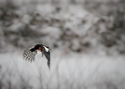 Woodpecker over snow
