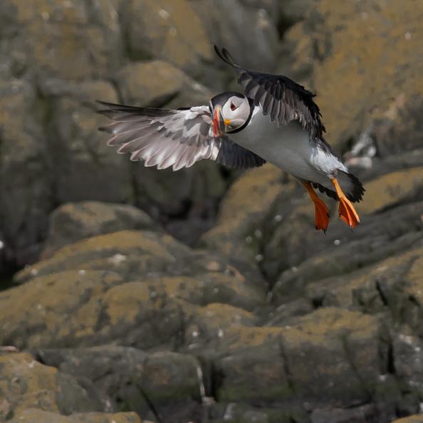 Puffin on Farne Island