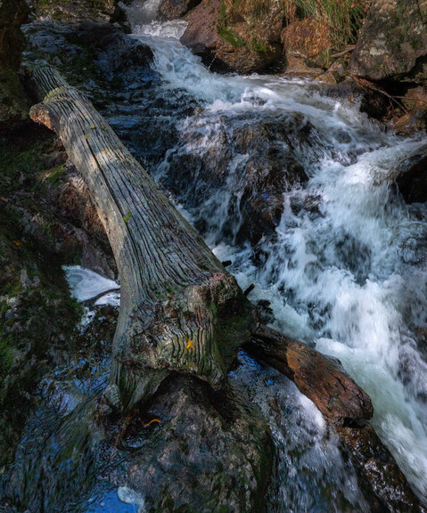 Ancient trunk in stream