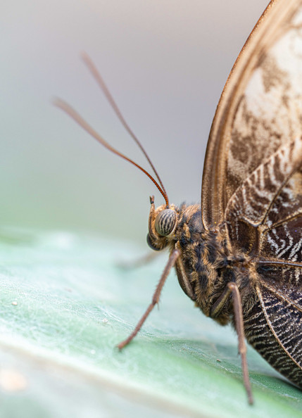 Large Heath Butterfly