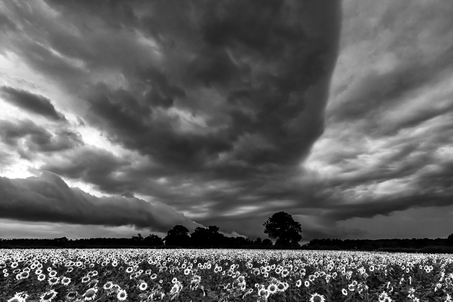Sunflowers in Storm