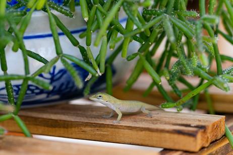 gecko friend