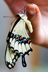 giant swallotail butterfly