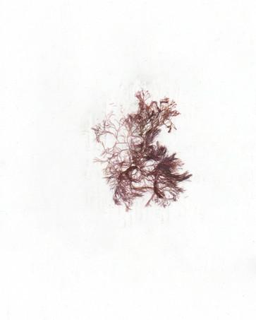 Ceramium deslongchampsii