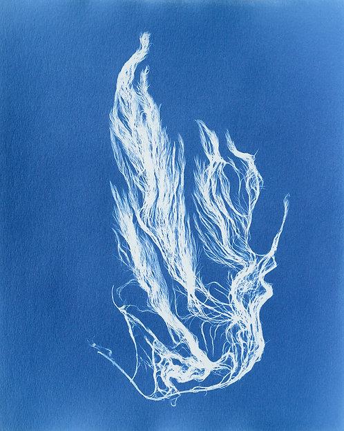Desmarestia viridis (zwavelzuurwier)