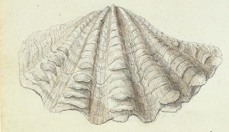 giant-clam-anna-children-anna-atkins-gen