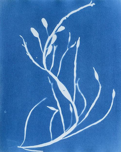 Ascophyllum nodosum (knotswier)