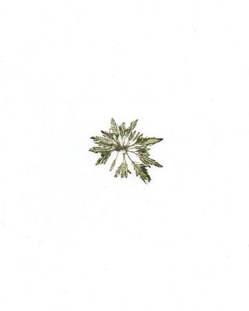 Bryopsis lyngbyei