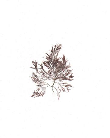 Polysiphonia senticulosa