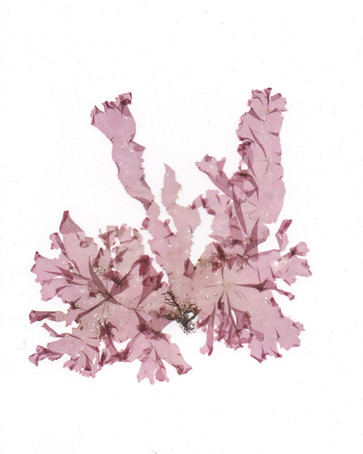 Nitophyllum stellato-corticatum