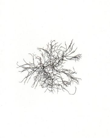 Chondria coerulescens