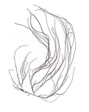 Gracilariopsis longissima