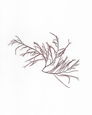 Agardhiella subulata