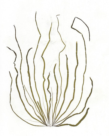Scytosiphon lomentaria