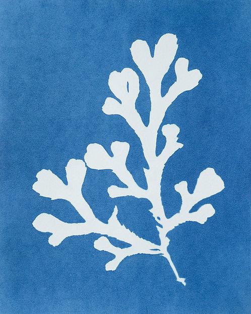 Fucus serratus (gezaagde zee-eik)