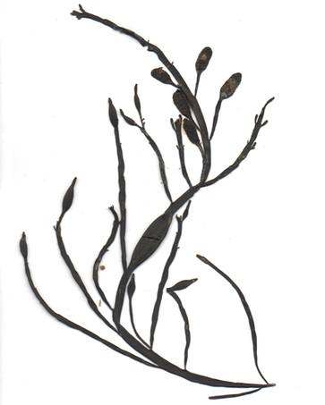 Ascophyllum nodosum