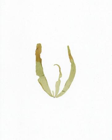 Petalonia fascia