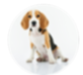 adorable-animal-beagle-1345191.png