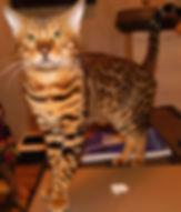 Rosette bengal cat name Fidel