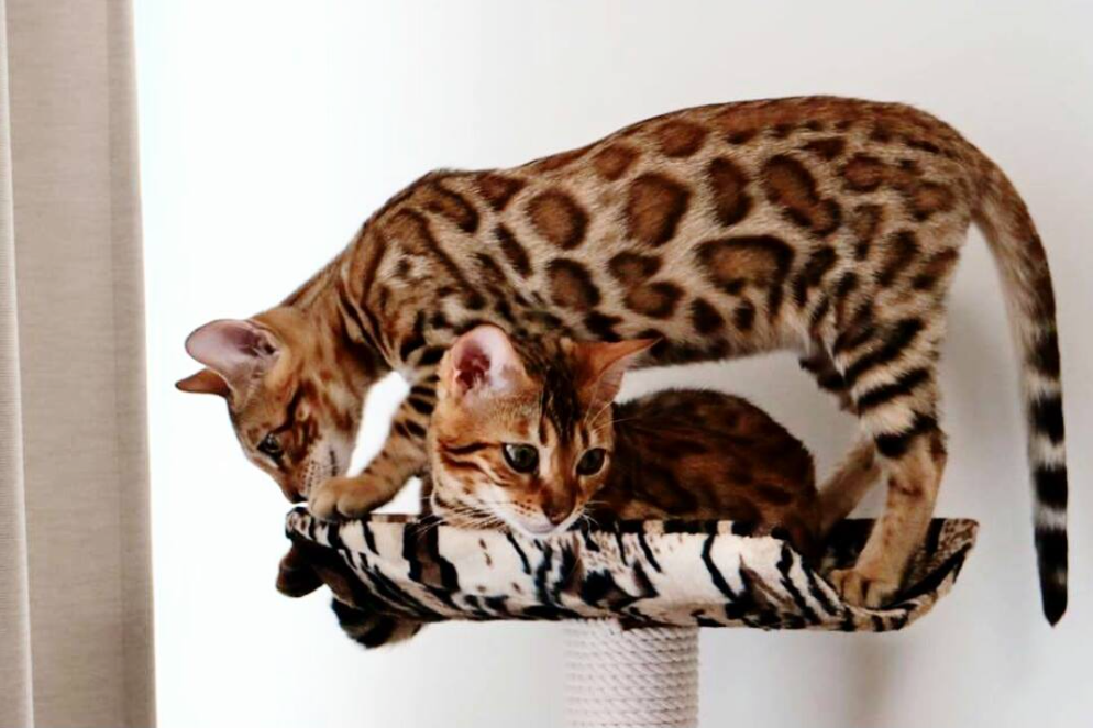 designer bengal singapore breeds available bengal