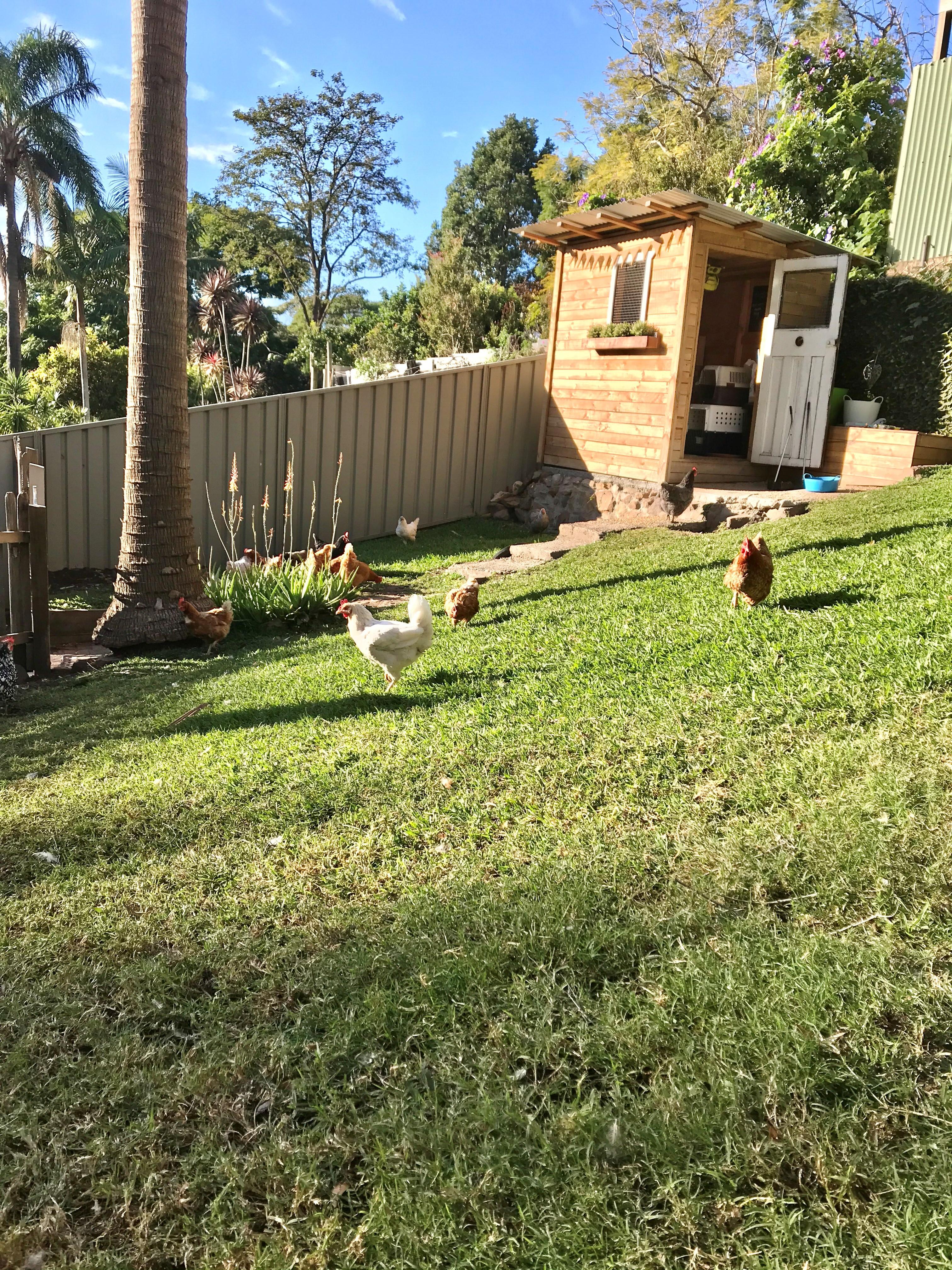 Yard Chickens 1