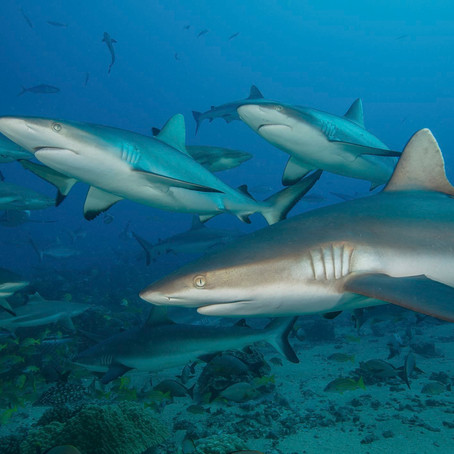 Out of the EU's jaws, the UK can lead in protecting the world's sharks