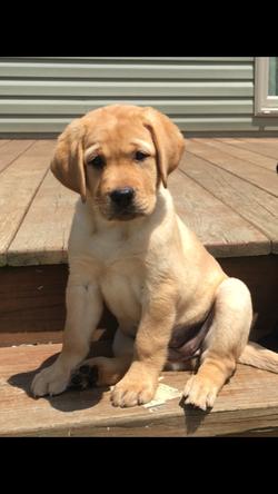 Sunny of Bella Notte Labradors